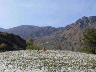 I narcisi della Valle Sacra a Castellamonte