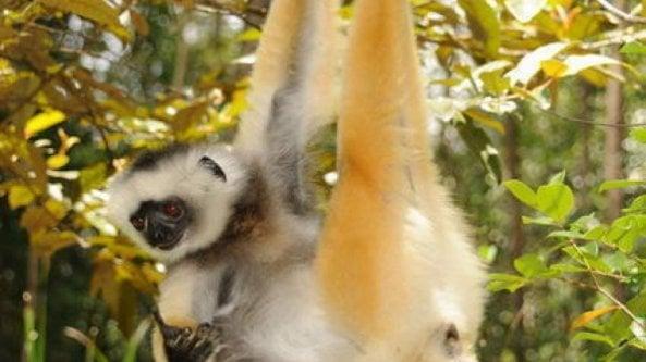 Madagascar, piccoli rifugi per i lemuri