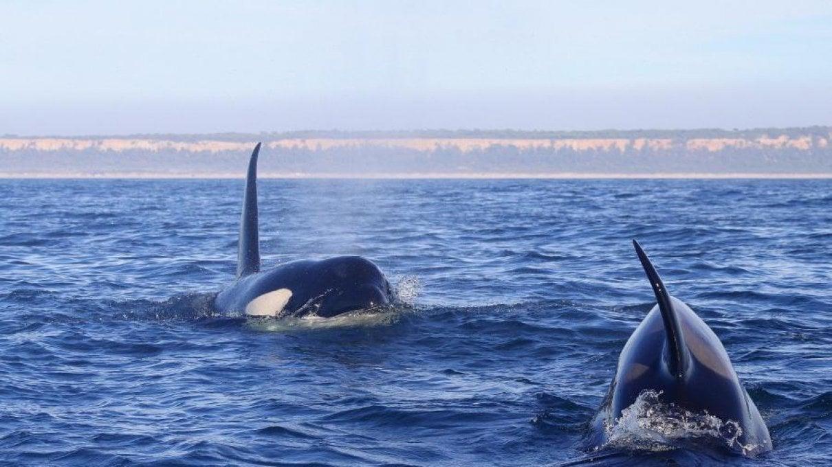 Il mistero delle orche che colpiscono le barche. Forse un modo per rallentarle dopo aver subito un incidente