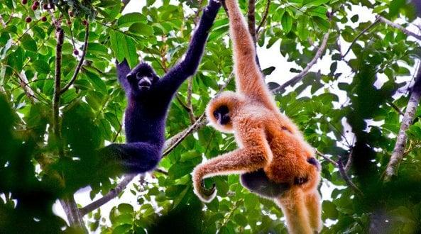 Cina: cresce lhabitat dei gibboni, primati più rari al mondo