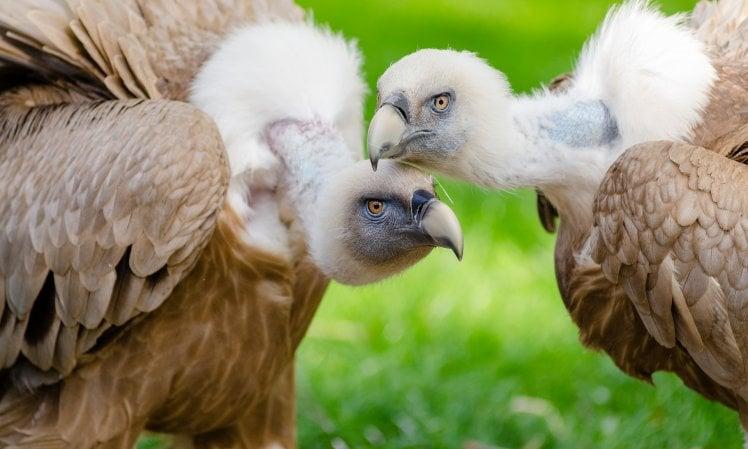 Al bando il farmaco degli allevamenti: uccide avvoltoi e altri rapaci