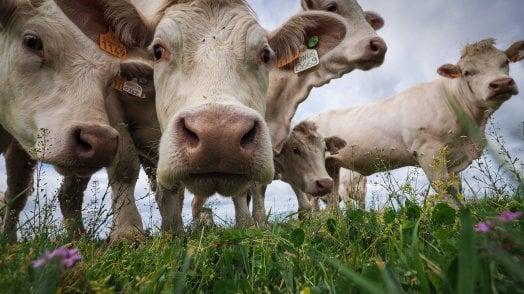 Clima, se la mucca diventa un nemico del Pianeta
