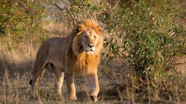Wwf: SOS leoni, al mondo solo 20 mila esemplari in natura