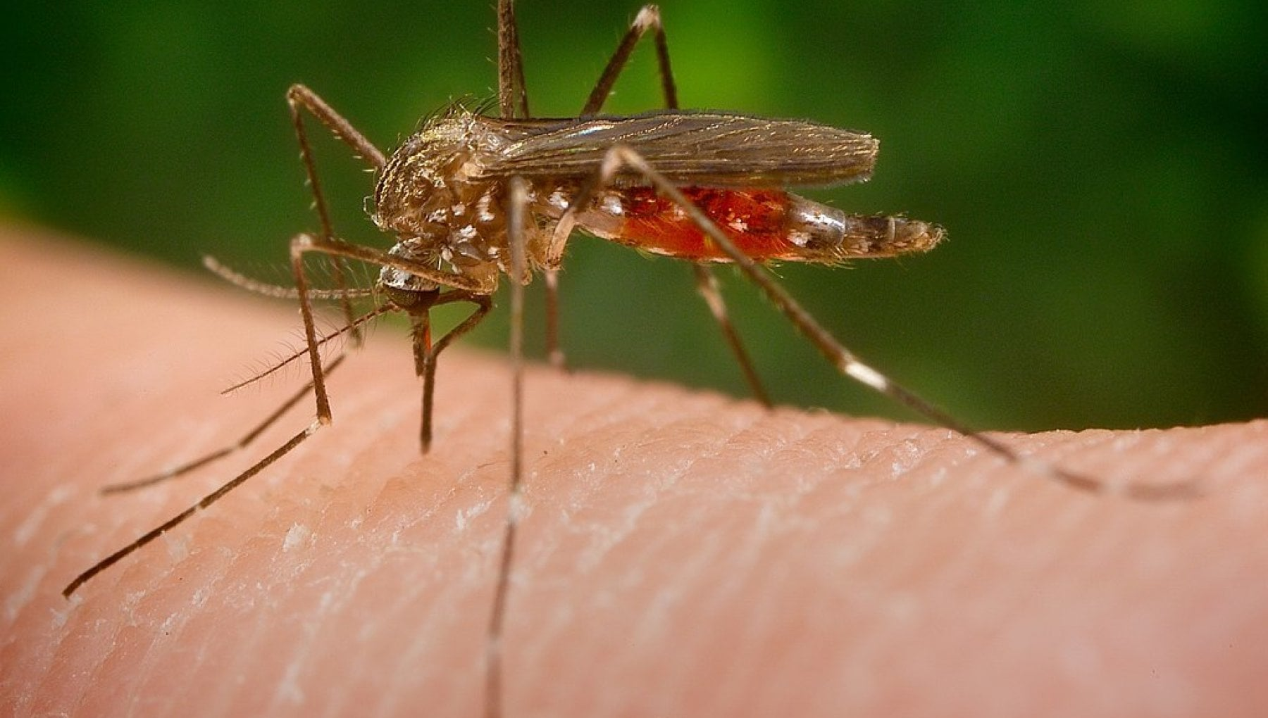 """La zanzara giapponese invade l'Italia. Ed è più resistente della """"tigre"""""""