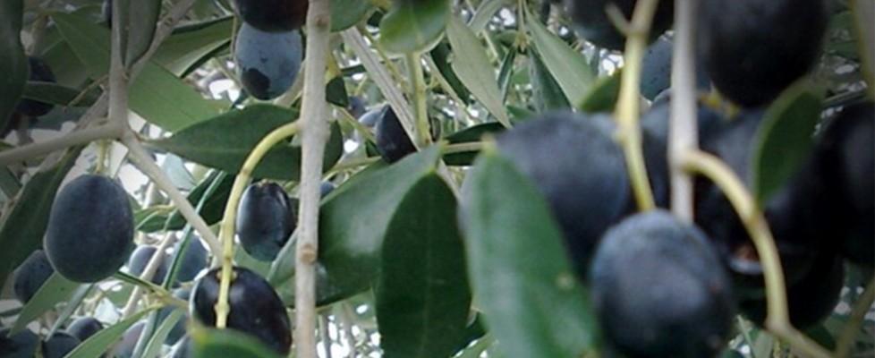 L'anno nero dell'olio italiano