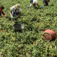 Sono italiane le nuove schiave dei campi