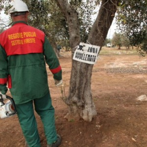 Peste degli ulivi, indaga la procura. Forse introdotta in Europa durante un convegno a Bari