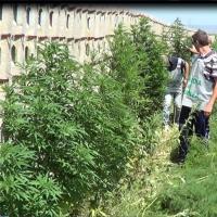 Sotto la ferrovia, i filari di marijuana  coltivata insieme agli asparagi