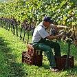 Racket in campagna a Barletta distrutti 2 tendoni di uva