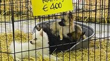 Foto  - Cuccioli in Fiera  boom di visitatori associazioni scatenate