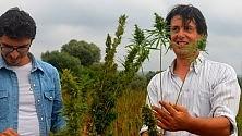 L'allevatore rovinato dalla diossina dell'Ilva festeggia il suo primo  raccolto di canapa -  Foto