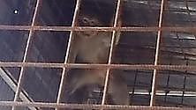 Scimmia nell'autorimessa un denunciato ad Andria
