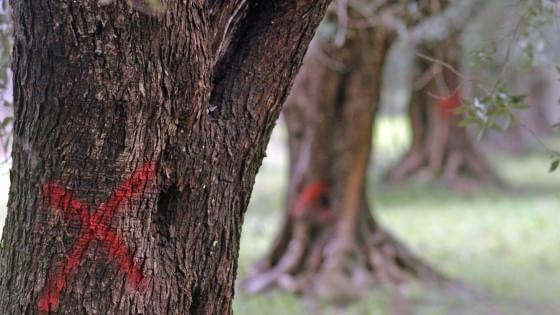 """""""Iniezioni di nanoparticelle per salvare gli ulivi dalla Xylella"""". Il commissario: """"Avanti con le eradicazioni"""". Via crucis in Salento"""