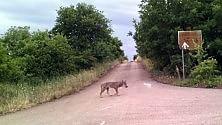 """""""Attenti al lupo"""": eccolo sui sentieri della Murgia"""