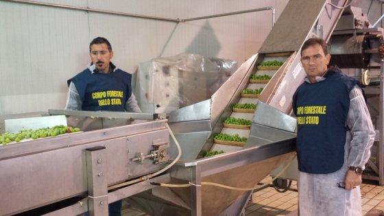 Puglia, 85 tonnellate di olive da tavola colorate con E141: blitz della Forestale, 18 denunciati