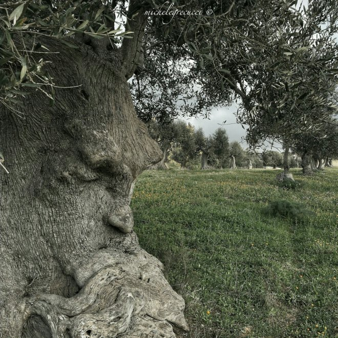 Puglia, lo spettacolo social dell'ulivo pensieroso