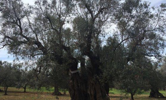 Ulivi, la xylella sta uccidendo il Gigante di Alliste: l'albero-simbolo del Salento ha 1.500 anni