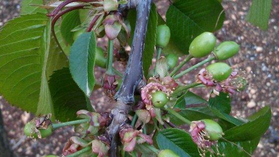 """Agricoltura, in Puglia è già tempo di ciliegie: """"Un mese di anticipo per il caldo record invernale"""""""