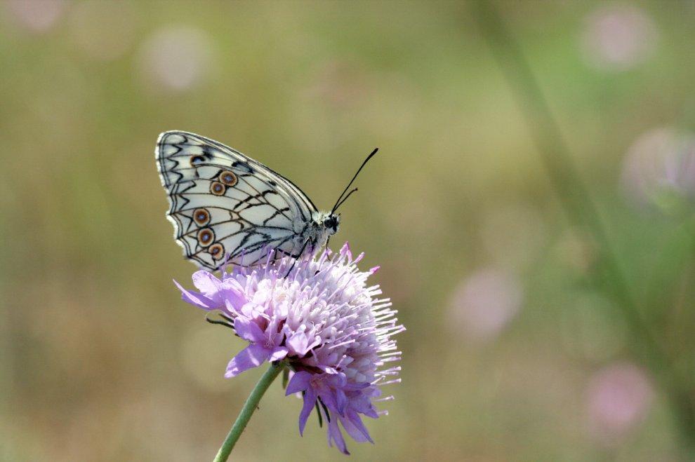 Un popolo di farfalle, battito d'ali in Puglia per 120 specie