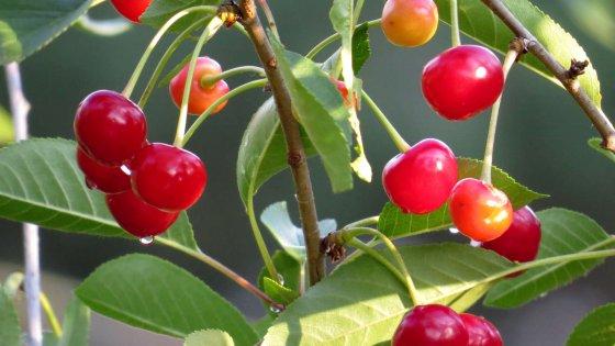 """Puglia, il caldo fa partire in anticipo la raccolta delle ciliegie. """"Frutti ottimi, ma la produzione cala"""""""