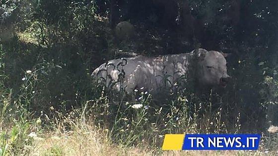 Lecce, toro fugge dal mattatoio e semina il panico fra le auto: i poliziotti lo uccidono