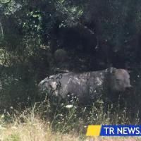 Lecce, toro fugge dal mattatoio e semina il panico fra le auto: i poliziotti