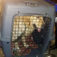 Marò, è arrivato in Italia il cane di Girone. La moglie: