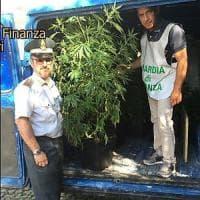 Puglia, piantagioni di marijuana tra ulivi secolari e boschi: c'è anche