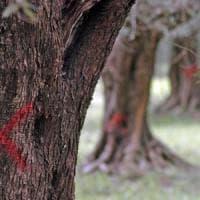 Xylella, la Procura dissequestra 2.223 ulivi infetti nelle campagne fra Brindisi e Lecce