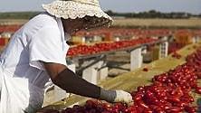 Salento 'rosso pomodoro'  il reportage sulla raccolta