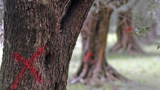 Xylella, nel Brindisino tre nuovi focolai in zona contenimento: il batterio non si ferma