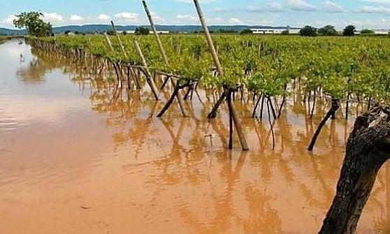 """La Coldiretti: """"Vendemmia a rischio per le piogge"""""""