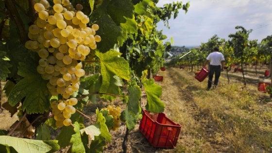 """Maltempo, l'allarme di Coldiretti a Bari: """"Distrutta più della metà dell'uva da tavola"""""""