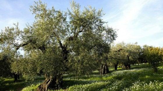 Xylella, al via in Salento i test di tolleranza: il progetto su 1.000 ulivi nei campi di Presicce
