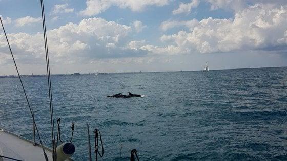 'Bari in vela', festa in mare con i delfini: la barca del Politecnico conquista il trofeo Assonautica
