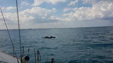 'Bari in vela', festa in mare con i delfini   ft   il Politecnico vince il trofeo Assonautica