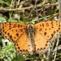 Farfalle di Puglia: ecco gli scatti del collezionista