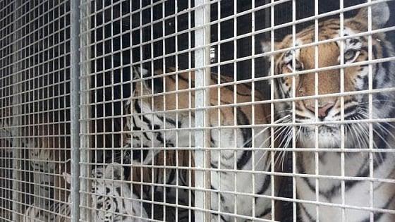 """Bari, gli animali del circo bloccati al porto: """"Tigri e pappagalli non possono entrare in Italia"""""""