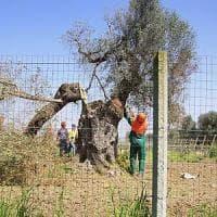 Xylella, allarme per il primo caso a Ostuni: è la zona dei grandi ulivi