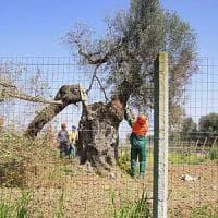 Xylella, tre indagati a Brindisi: bloccarono la Forestale durante il controllo