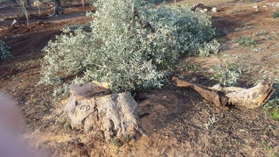 """Bari, strage di ulivi centenari. La Coldiretti: """"Agricoltori assediati, serve l'Esercito"""""""