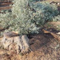 Bari, strage di ulivi centenari. La Coldiretti:
