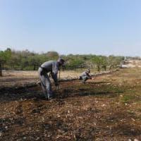 Parco dell'Alta Murgia, abbatte 85 querce per piantare alberi da frutto: