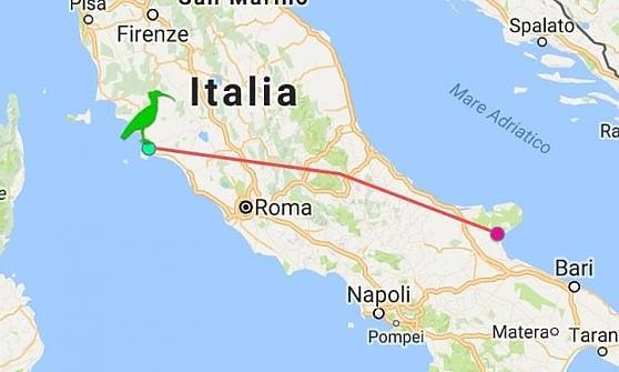 Idefix, l'ibis che ama la Puglia: il suo stormo vola dalla Toscana alle Alpi, lui torna da solo sul Gargano