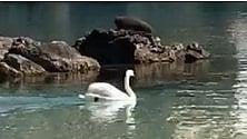 Sorpresa in Salento in mare c'è un cigno reale