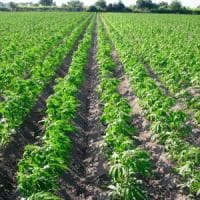 Puglia, via libera alla legge regionale sulla coltivazione della canapa: