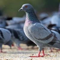 Bari, consigliere comunale somministra contraccettivi ai piccioni. E in aula è polemica