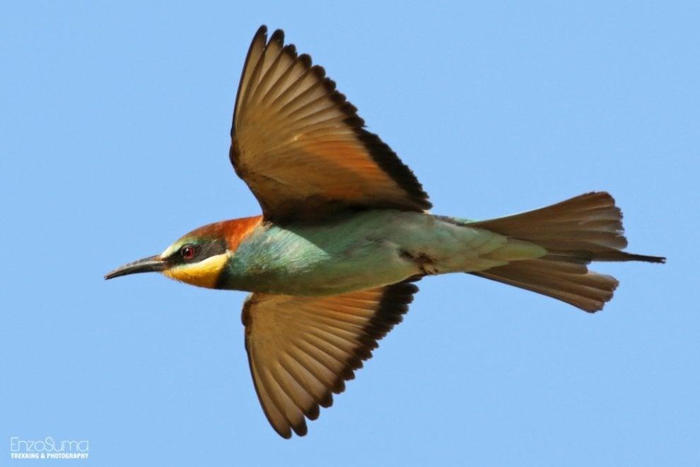 Uccelli, il ritorno dei gruccioni colora i cieli pugliesi