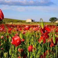 Papaveri sulla Murgia: il red carpet della Puglia