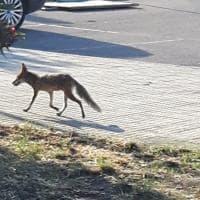 Lecce, c'è una volpe a spasso sul marciapiede